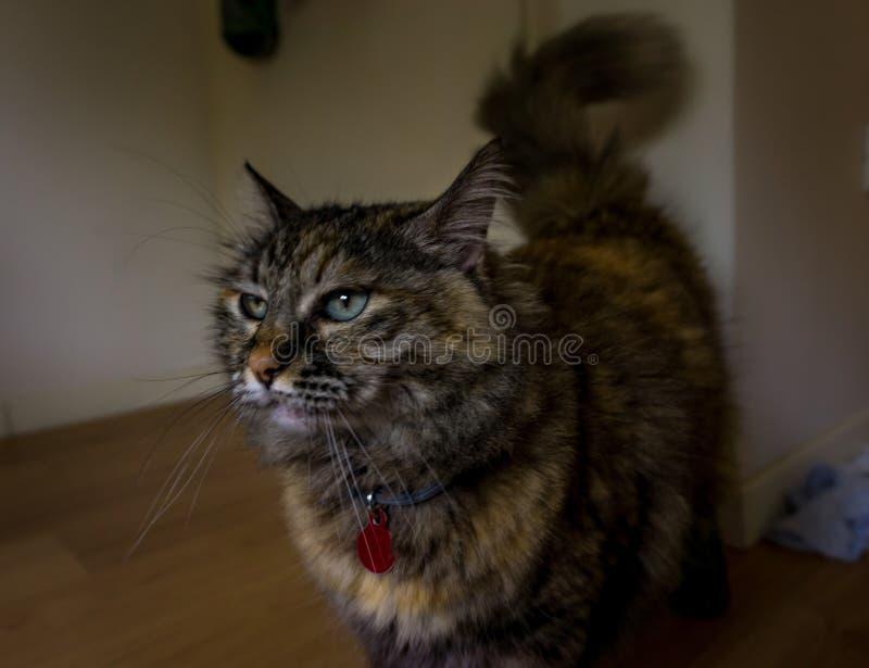 Closeup of a Persian tricolor cat stock photography