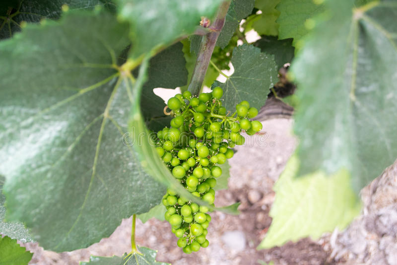 Download Closeup of grapes stock photo. Image of vineyard, green - 83364530