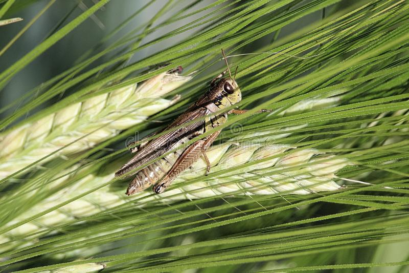 Closeup of of a grasshopper on green barely heads royalty free stock image