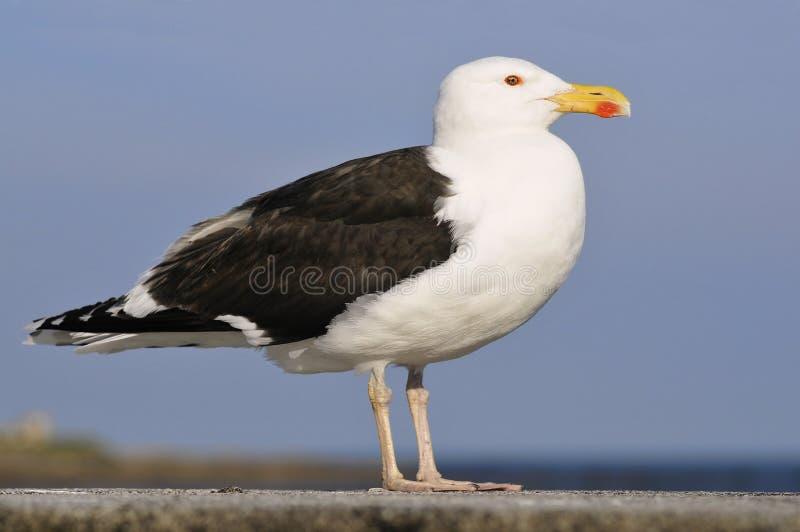Closeup Great Black-backed Gull stock photo
