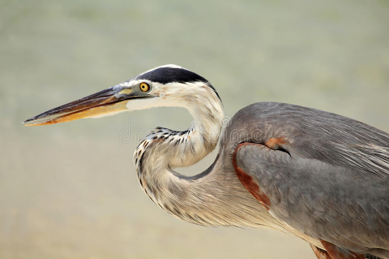 Download Closeup Of A Great Blue Heron Stock Image - Image: 26021449