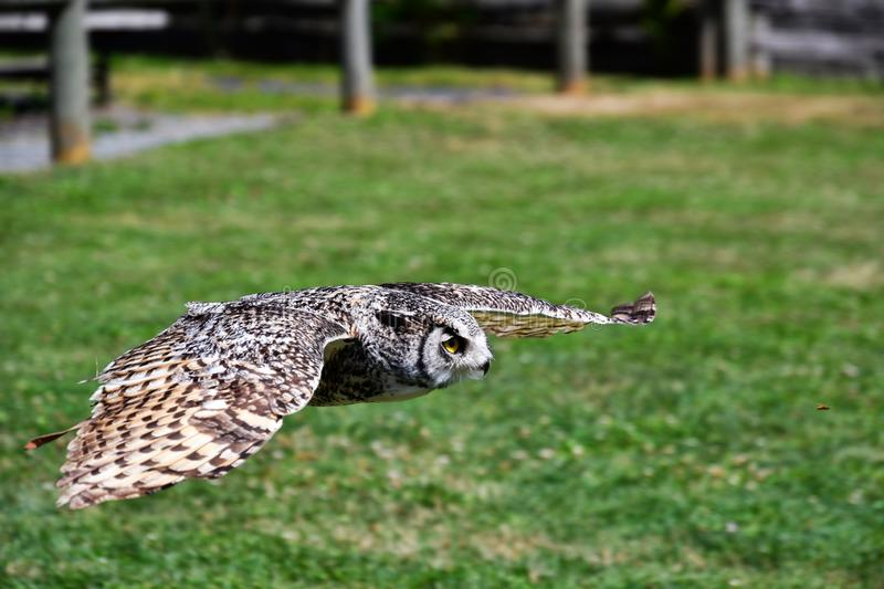 A closeup of Great Horn Owl flying in the air. stock photos