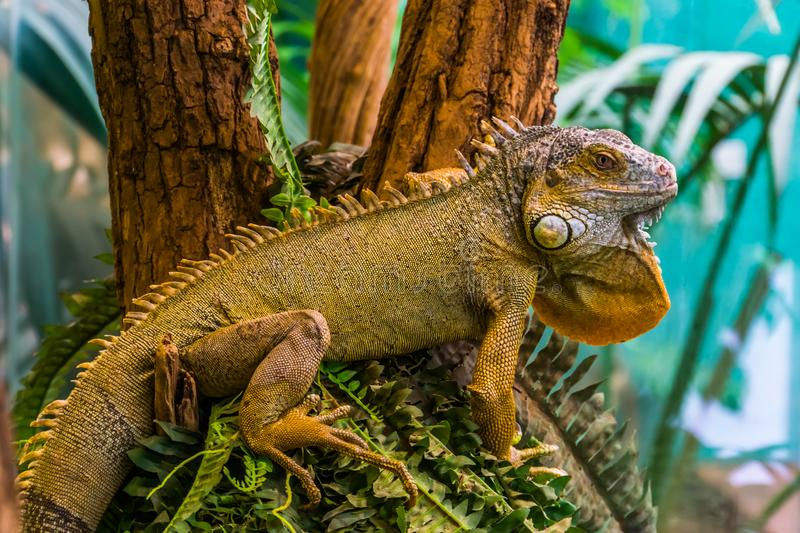 Closeup of a a green american iguana, popular exotic pet, tropical lizard specie from America. A closeup of a a green american iguana, popular exotic pet stock photography