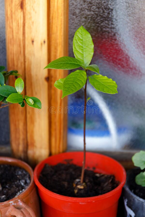 Closeup of green avocado plant pot on white background for decorative design. Natural background. Home decoration. Green leaf royalty free stock image