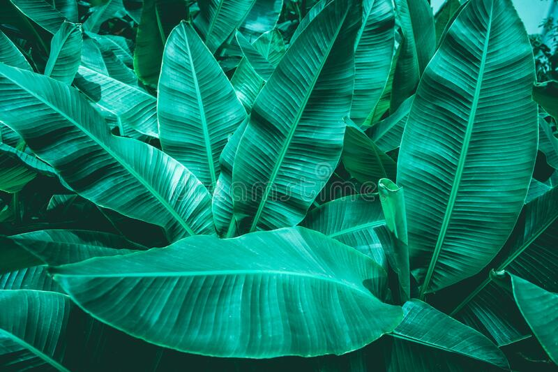 Closeup green banana leaf texture in garden royalty free stock images