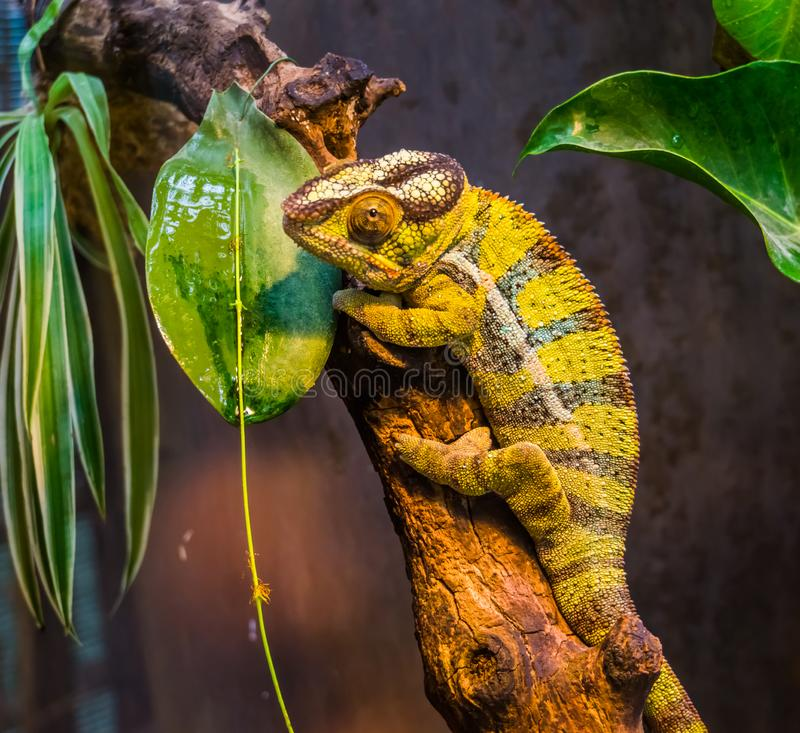 Closeup of a green and black banded panther chameleon, colorful tropical lizard from madagascar, popular exotic and colorful pet. A closeup of a green and black royalty free stock photo