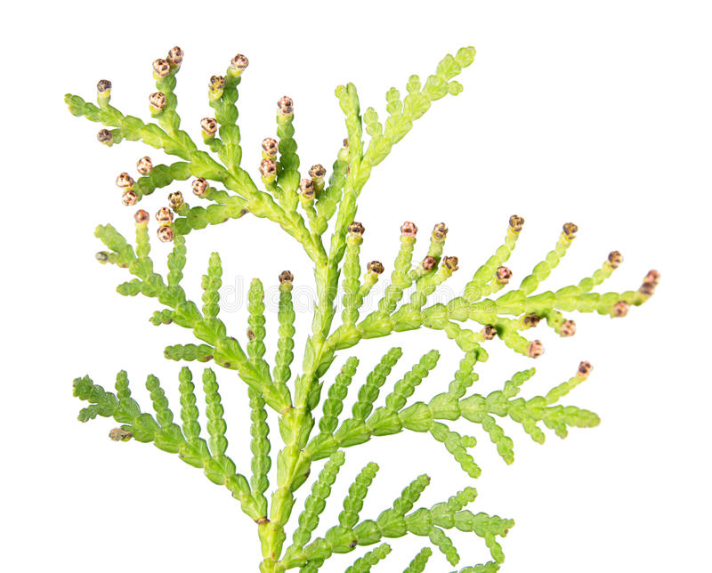 Closeup of green branch of arborvitae or Thuja occidentalis with male cone isolated on white background stock photography