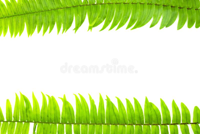 Closeup Green fern leaf isolated on white background of file with Clipping Path and copy space ,space for text or images.  stock photography