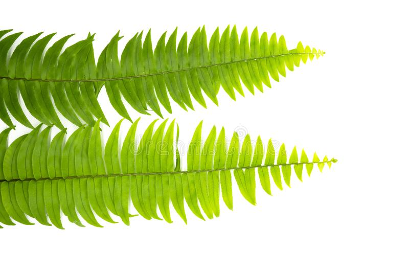 Closeup Green fern leaf isolated on white background of file with Clipping Path and copy space ,space for text or images.  stock photo