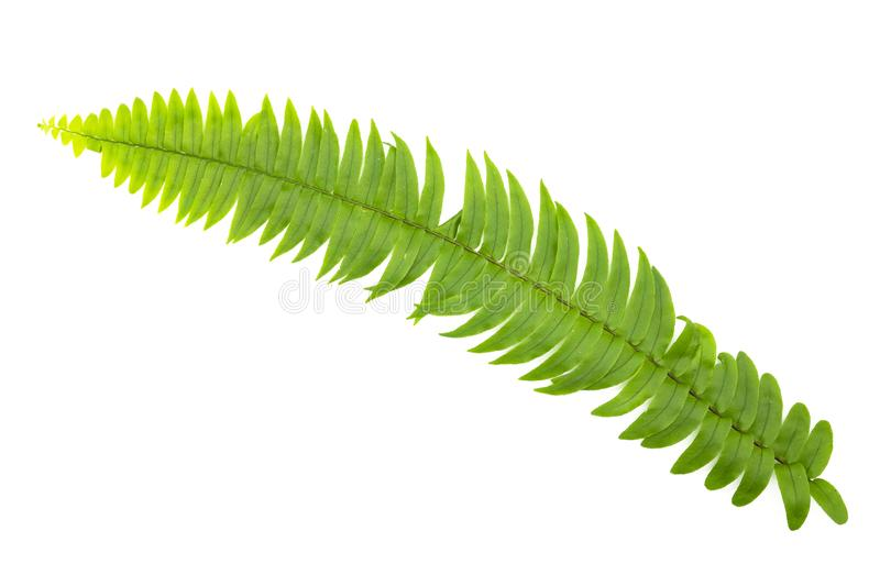 Closeup Green fern leaf isolated on white background of file with Clipping Path and copy space ,space for text or images.  royalty free stock photo