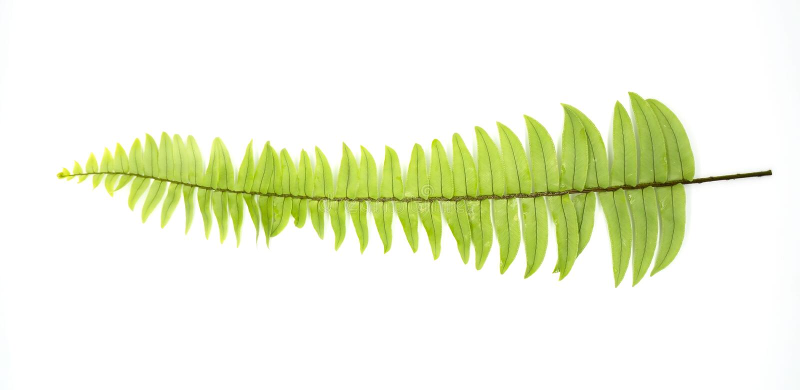 Closeup Green fern leaf with water droplets isolated on white background royalty free stock image