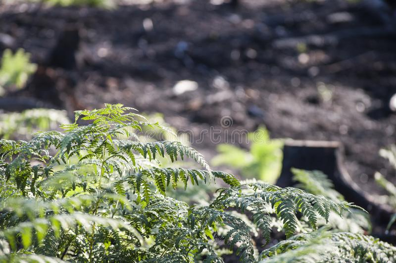 Closeup of green ferns in sunlight after forest fire. New life - closeup of green ferns in sunlight after forest fire in regenerating glade stock image