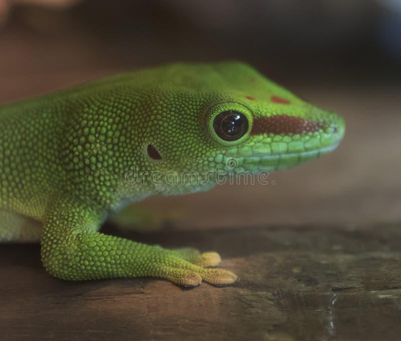 Closeup of a green gecko stock image