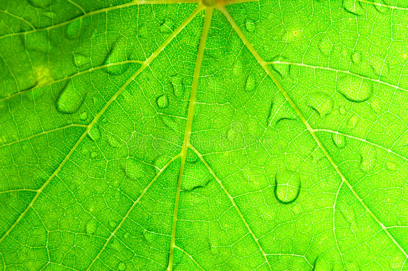 Closeup Of Green Grape Leaf Texture. Royalty Free Stock Photo