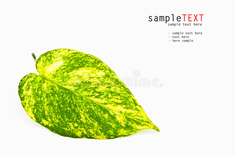 Download Closeup green leaf stock photo. Image of harmony, drops - 21524348