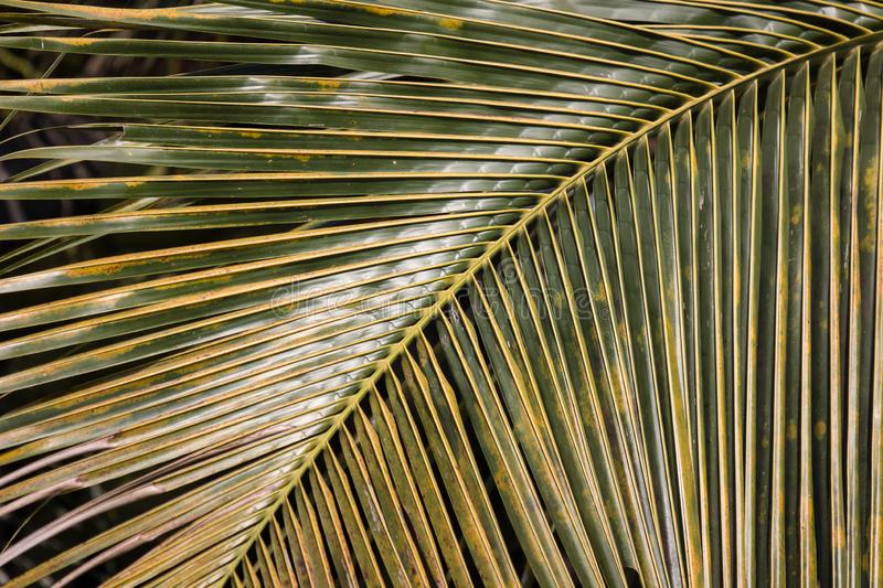 Closeup of Green leaf of Coconut tree stock photography