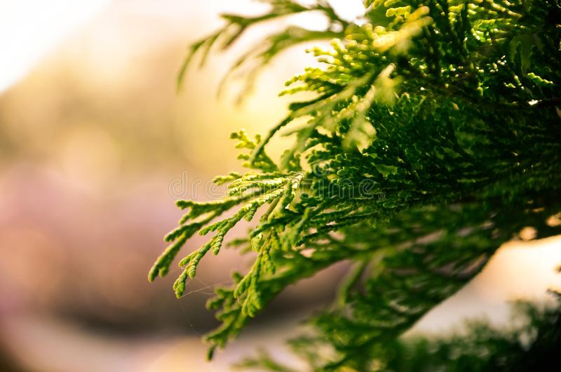 Closeup of a green leaf of spruce during sunset in a forest with a blurry background. A closeup of a green leaf of spruce during sunset in a forest with a blurry stock photography