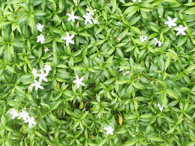 Closeup green leaves of plant in the garden with small white flower texture background royalty free stock photos