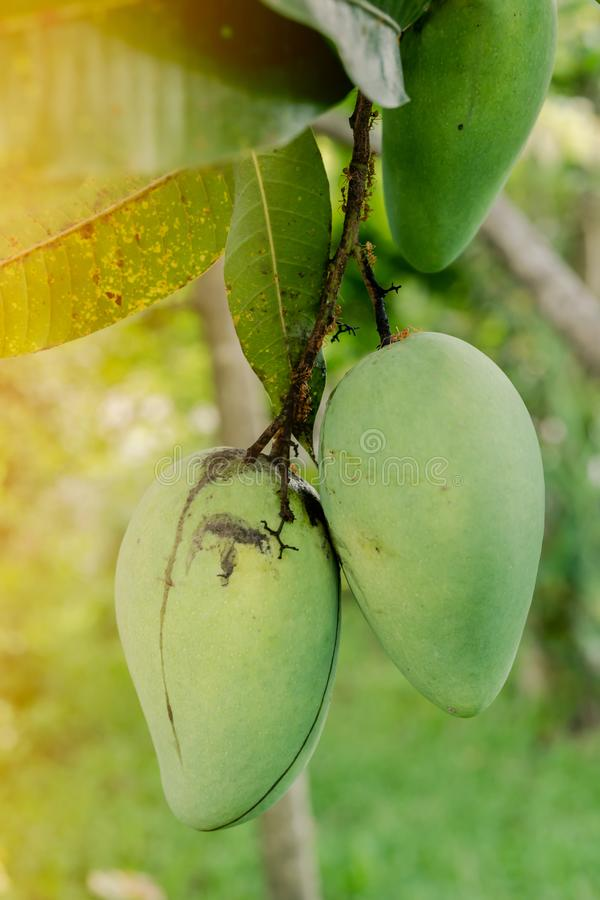 Closeup of 2 green mango hanging under the mango tree There are red ants climbing on the stem royalty free stock photos