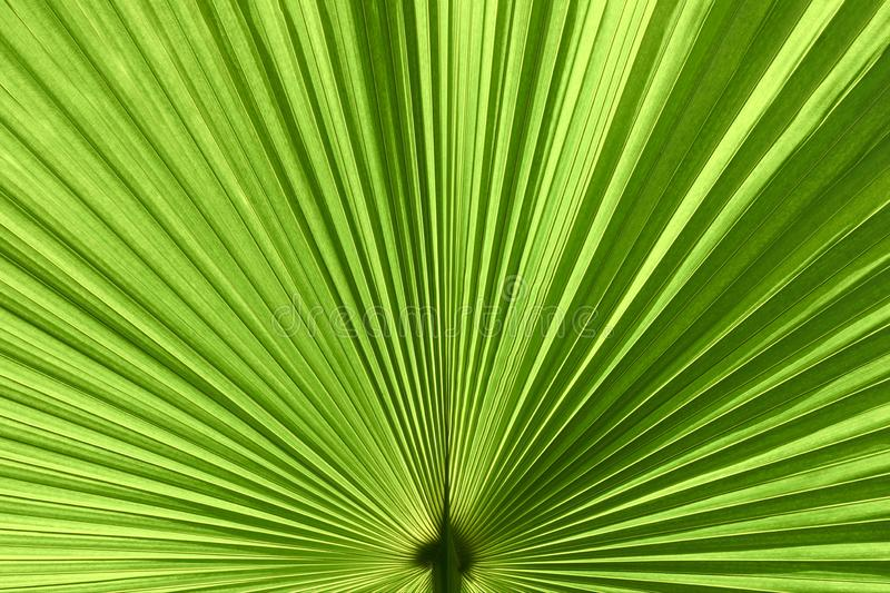 Closeup of Green Palm Leaf as Texture Background royalty free stock images