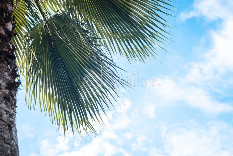 Closeup on green palm tree leaf on beautiful . Coconut Palm tree with blue sky,beautiful tropical background. Coconut palm tree stock photos