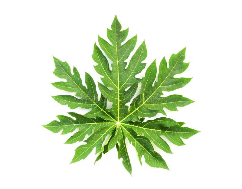Closeup green papaya leaf isolated on white background stock photos