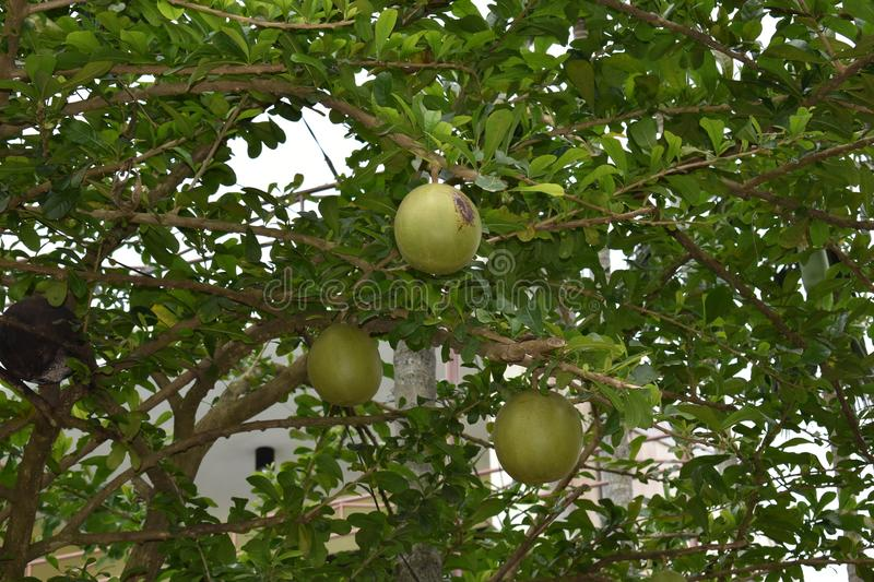 Closeup of a green pomelo plant in a garden in Hanoi in Vietnam, Asia royalty free stock photo