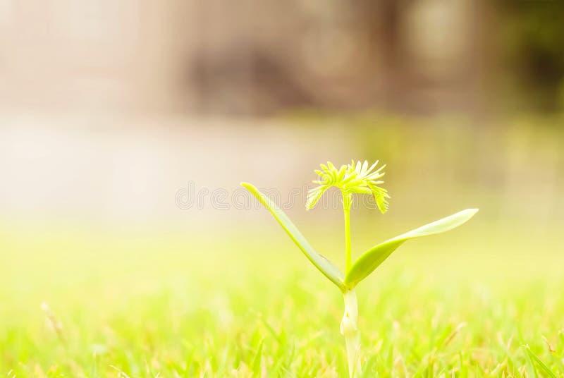 Closeup green sapling on grass floor background with copy space and sun light. Closeup a sapling on grass floor background with copy space and sun light stock photos