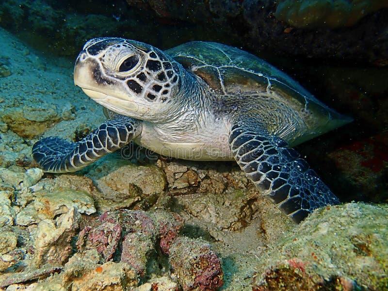 Closeup with Green Sea Turtle during a leisure dive in Mabul Island, Semporna. Tawau, Sabah. Malaysia, Borneo. The Land Below The Wind stock photo