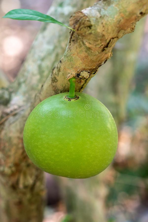 Closeup of green Star Apple at Mr. Kiet Historic House, Cai Be, Vietnam stock photography