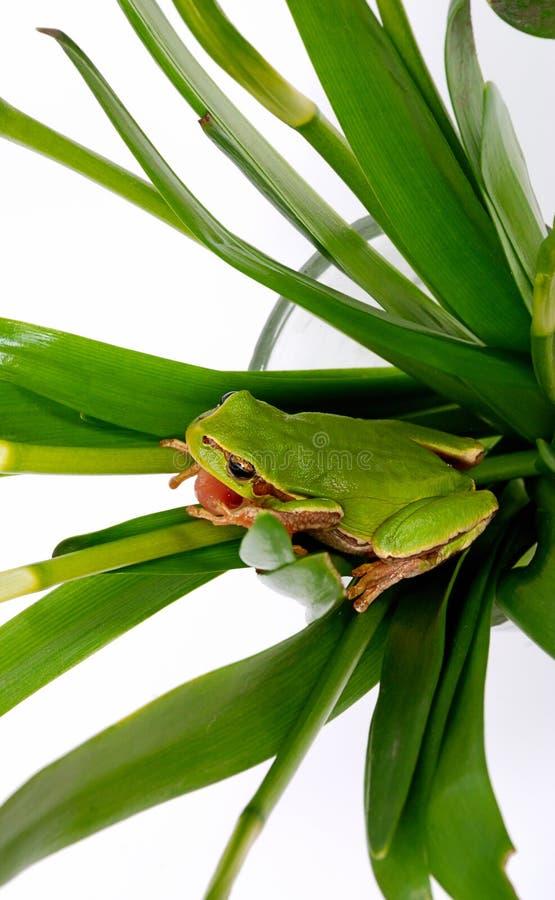 Closeup green tree frog royalty free stock photography