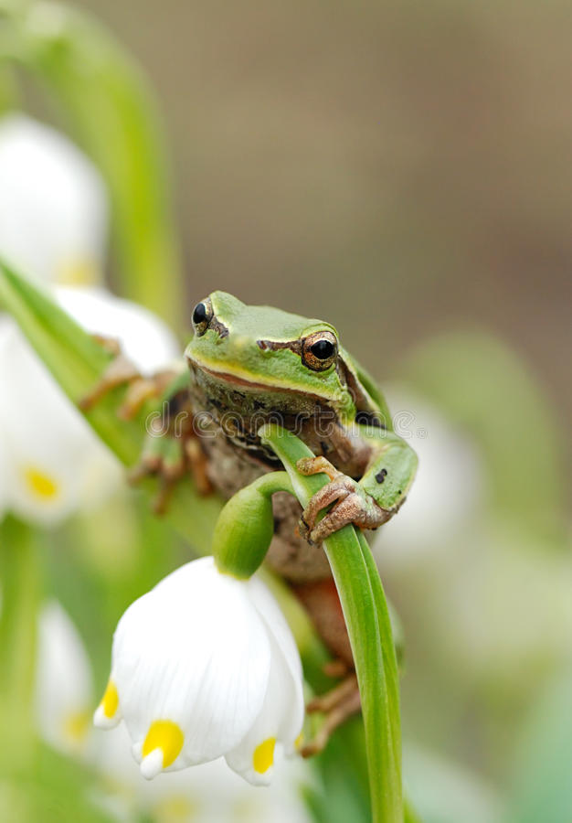 Closeup green tree frog on flower stock photography