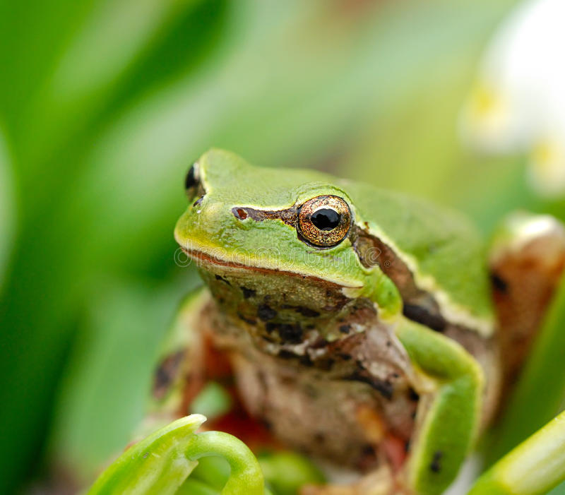 Closeup green tree frog on flower royalty free stock image