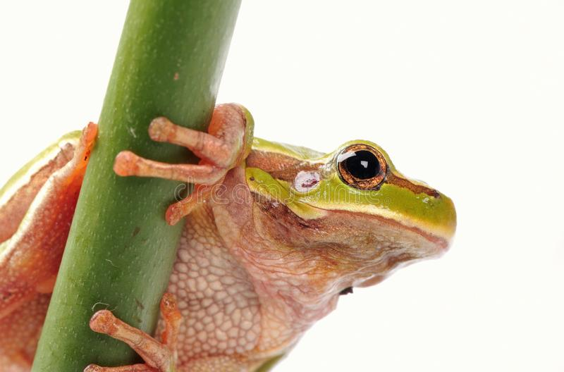 Closeup green tree frog isolated on white background. Amphibian, animal, big, brown, bufo, bufonidae, cane, canetoad, chaunus, creature, dampness, fauna, giant royalty free stock image