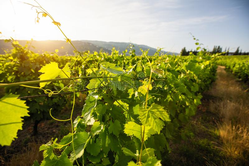 Closeup of green vineyard at valley in Portugal. Summer. Closeup of green vineyard at valley in Portugal stock images