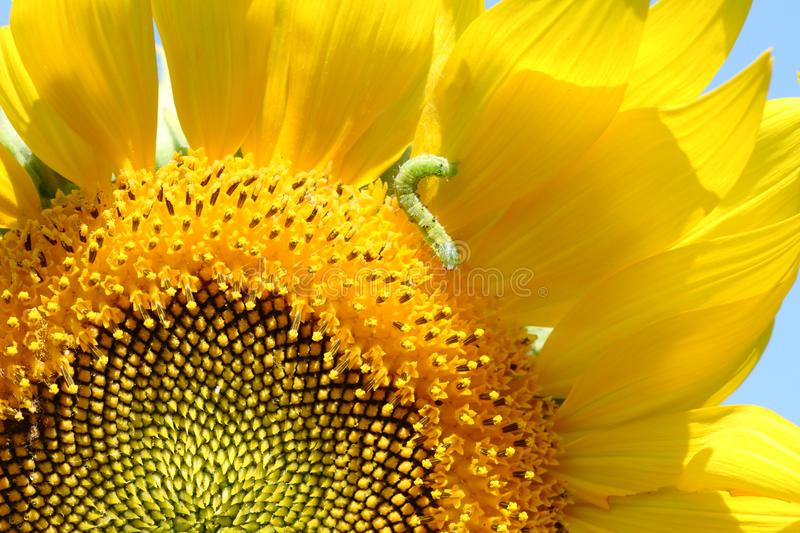 Closeup green worm eating petal of yellow sunflower stock image