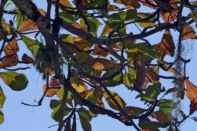 Closeup of green and yellow tree leaves stock images