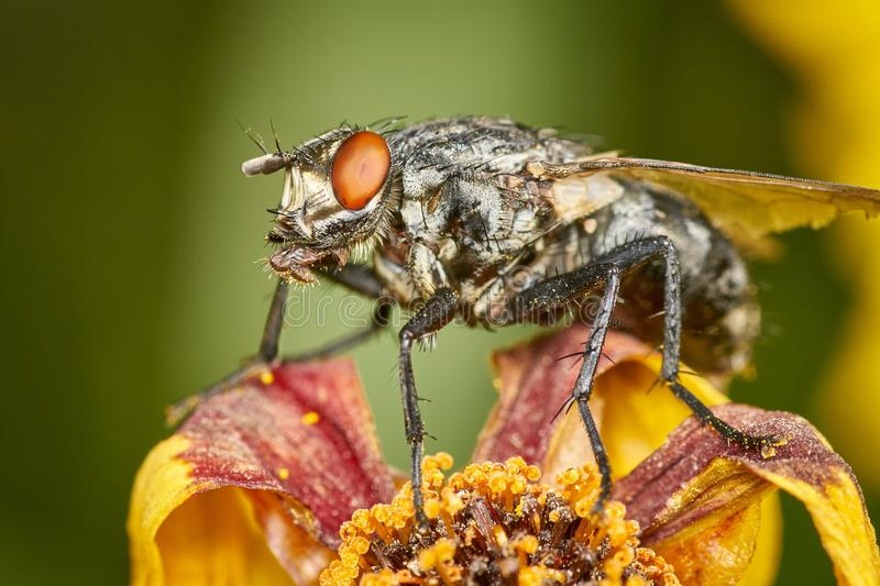 Common flesh-fly - Sarcophagidae. Closeup of grey marbled Sarcophaga carnaria sitting on a flower showing detailed body hair stock image