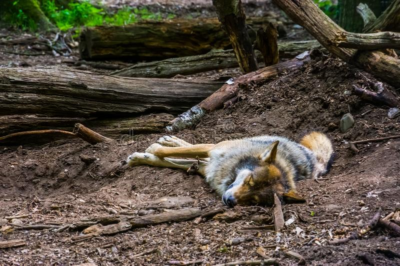 Closeup of a grey wold sleeping on the ground in the forest, carnivorous animal specie the woodlands of Eurasia. A closeup of a grey wold sleeping on the ground stock photos