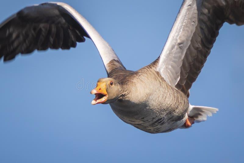 Closeup of a greylag goose Anser Anser imigrating stock photos