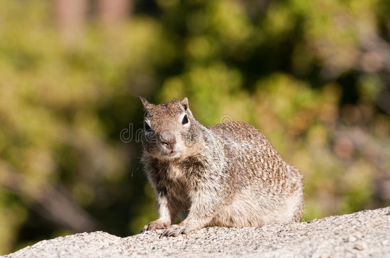 Closeup of Ground Squirrel royalty free stock images