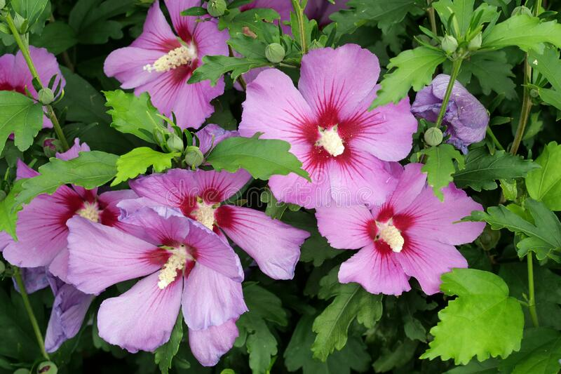 Closeup of a group of colorful pink blossoms / petals of a hibiscus syriacus with open blossoms. Hibiscus syriacus is a species of flowering plant in the mallow stock photography