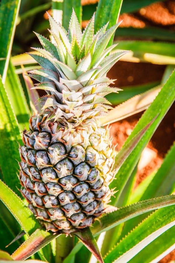 Closeup of growing Pineapple stock image