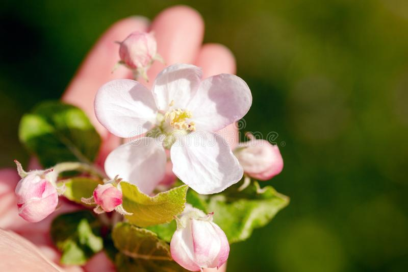 Closeup, hand is holding fresh apple blossoms and buds, spring time season royalty free stock images
