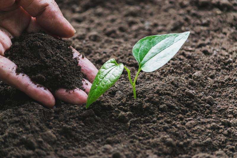 Closeup hand of person holding abundance soil with young plant in hand   for agriculture or planting peach nature concept royalty free stock photo
