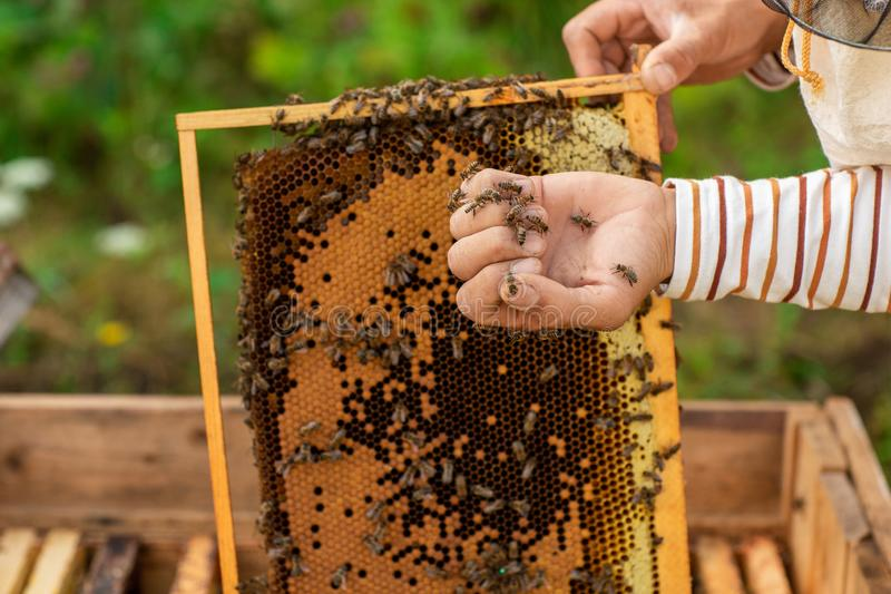 Closeup of hands beekeeper holding a honeycomb full of bees. The bees wrapped around the beekeeper`s hand stock images