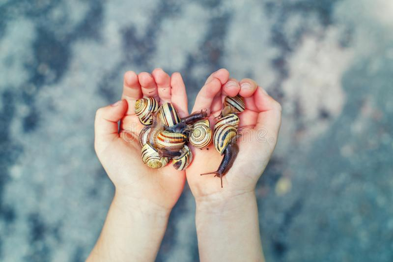Closeup of hands full of snails. Closeup of hands full of. Closeup macro of child hands palms holding many little small forest garden yellow striped snails royalty free stock image