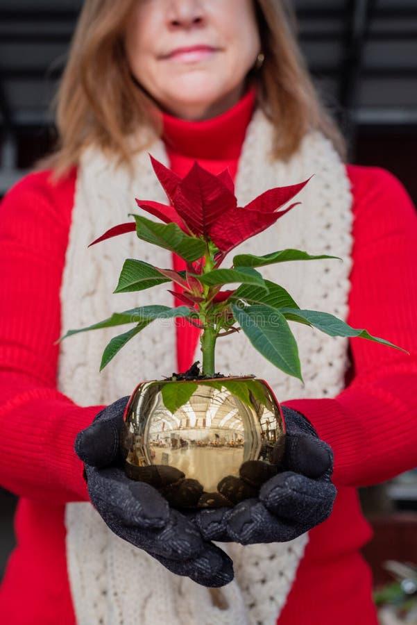 Woman holding cute little Poinsettia plant stock photos