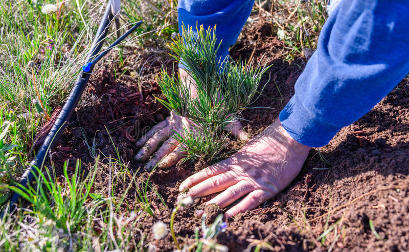 Closeup of hands of a man who is planting a limber pine evergreen seedling tree next to a drip irrigation line royalty free stock photo