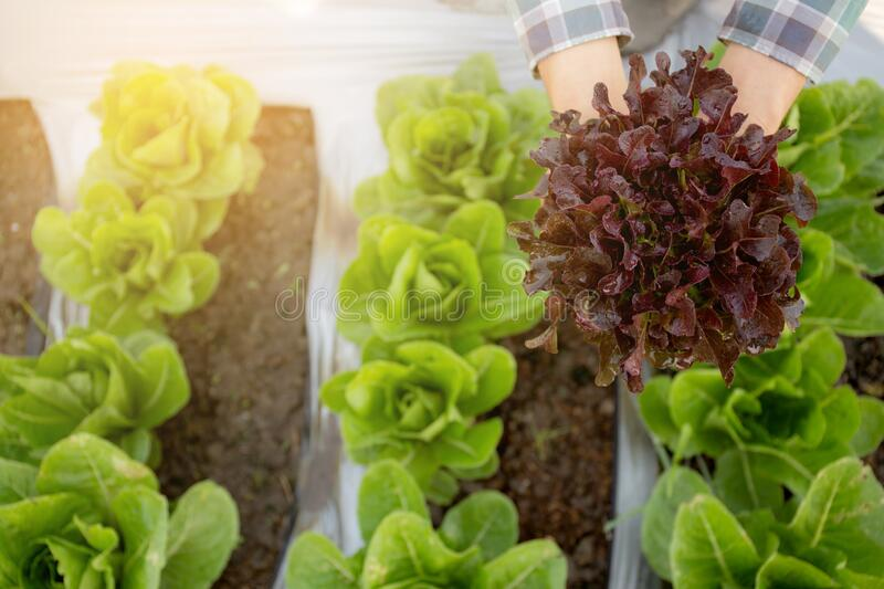 Closeup hands of young man farmer checking and holding fresh organic vegetable in hydroponic farm royalty free stock photography